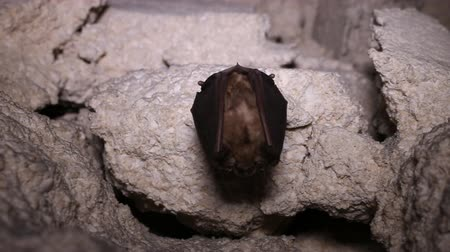 speleology : In the summer cave. The bat hangs upside down and swings in the draft (cave shelter for the day only). Horseshoe-nosed bat (Rhinolophus ferrumequinum)