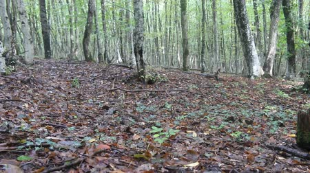 cserjés : Beech-hornbeam forests on the Northern shore of the Black sea, beechwood forest in late summer, forest canopy and litter