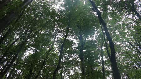 süpürge : Beech-hornbeam forests on the Northern shore of the Black sea, beechwood forest in late summer, forest canopy