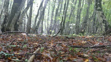 szubtropikus : Beech-hornbeam forests on the Northern shore of the Black sea, beechwood forest in late summer, forest canopy and litter. Trees and herbs with drops of autumn rain shine in the sun