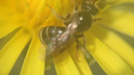 slogger : A bee gathers nectar from yellow flower of Ragwort, close-up video Stock Footage