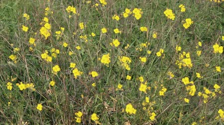 boterbloem : Buttercups swing in the wind in the steppe, the Northern black sea Stockvideo