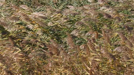 ingovány : Luxury panicles of reeds swaying in the wind. Common reed (Phragmites australis) grows well and bears fruit in the South, wetland