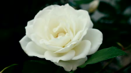 florista : A white rose sways in the wind. Close-up of petals