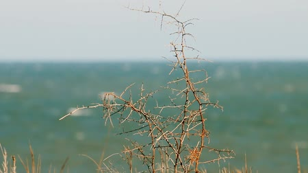 neve : Rosehip Bush (brere, wild rose) without leaves near sea on a winter day, cold snap Vídeos