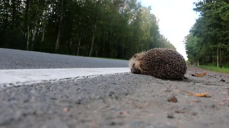motoring : The unfortunate hedgehog is hit on the road by a car. Car as the cause of death of a huge number of mammals: the greater the speed the more victims Stock Footage