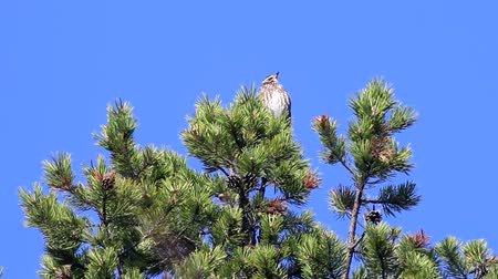 çiftleşme : Spring, arrival of birds. Male thrush redwing (Turdus iliacus) sings (Lek, mating call) on top of thick pine, boreal forest