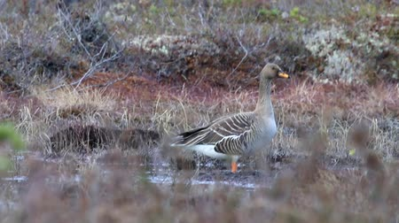 ingovány : Forest-breeding bean goose (Anser fabalis fabalis) subspecies. This goose is easy to penetrate into the woods, which is unusual for other lowland geese species. This bird feeds on small forest swamp Stock mozgókép