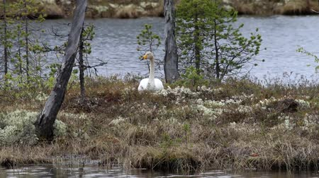 kavrama : Whooper swan (Cygnus cygnus sitting on a nest on the island of forest lake in the boreal forests of Lapland Stok Video