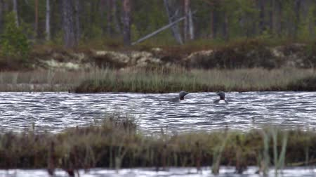 arctic tundra : Two red-throated diver (Gavia stellata) swim in the overgrown lake among the taiga forests. Lapland. The low camera position (at the level of birds)