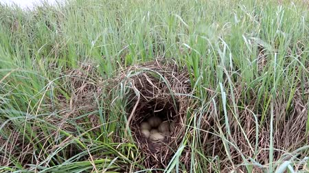 reservoir : Nest guide. The nest of a tufted duck (Aythya fuligula) under a canopy of dry sedge on the swamp island. Lapland