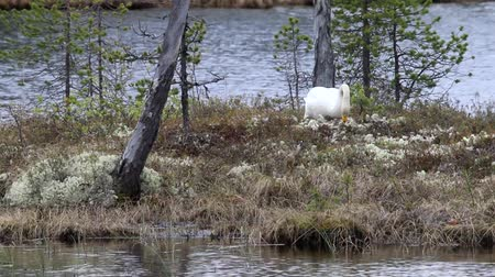 ninhada : Whooper swan (Cygnus cygnus sitting on a nest on the island of forest lake in the boreal forests of Lapland Vídeos