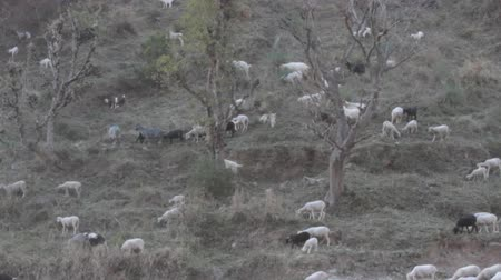 tag : Goats & sheep on the slopes of the Lesser Himalayas. India