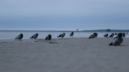 gatherer : A flock of migrating hooded crow (Corvus cornix) cold autumn on the shore of the Baltic sea. The position of the camera on the ground