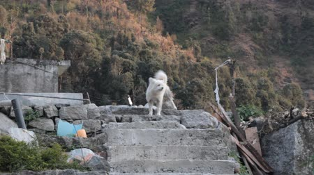 pariah dog : Yard dog (the protection of the court, watchdog) in the Himalayas
