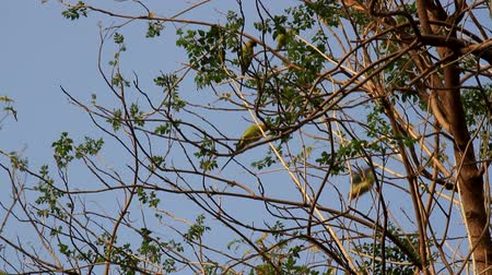 pecker : A flock of Kramer parrots feeds in the floodplain forest at winter. India Stock Footage