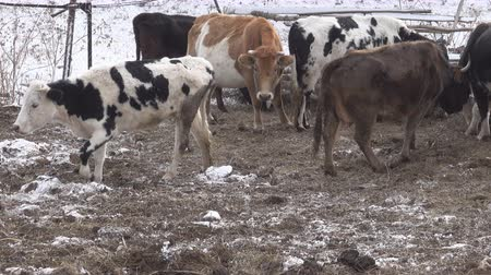 szervezett : Cow red suit and strong physique in the barnyard. Cattle breeding in the Caucasus. Aberdeen-Angus breed and hybrids
