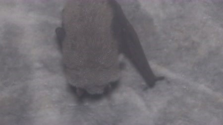 wetness : Daubentons Bat (Myotis daubentoni), water bat hibernate in mine tunnel over stream. Fur covered with large drops of dew, condensation of water vapor Stock Footage