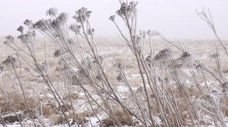 jegesedés : Winter Prairie with dry vegetation, snow, fogg and frost