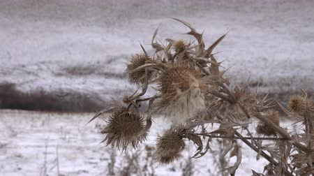temperada : Terrible thistles bristling with thorns, the symbol of chivalry. Dry winter plants close up