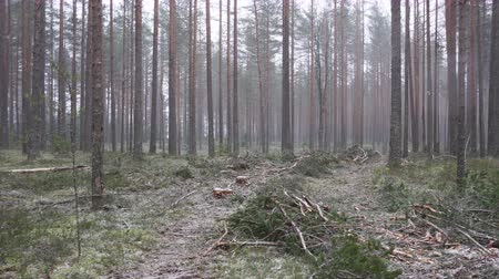 szektor : Improvement cutting in the natural pine forest. Natural forest suffers from economic activity, timber industry. Cleared forest reduces biodiversity