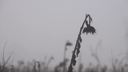 fade in : Lone sunflower on a dry winter field in fogg Stock Footage