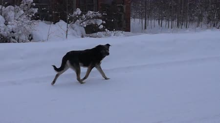 cur : Black dog running on white snow background. Super slow motion 1000 fps Stock Footage