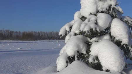 szron : A gust of wind blows off the snow cap with a lonely spruce. Super slow motion 1000 fps