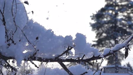 snowbreak : snow-covered trees and falling snow caps on snowbreak day. Super slow motion 1000 fps
