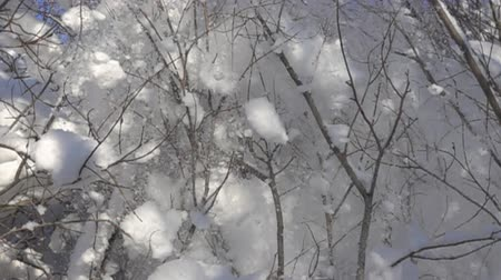monte de neve : Moment when snow on branches too much and wind makes snowfall. Super slow motion 1000 fps Stock Footage