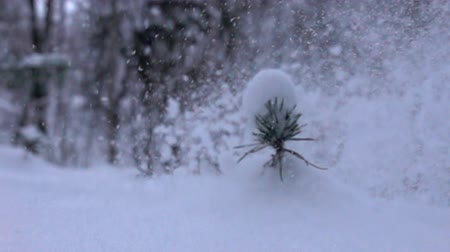 monte de neve : Blizzard falls on a small young tree pine sprout. Super slow motion 1000 fps