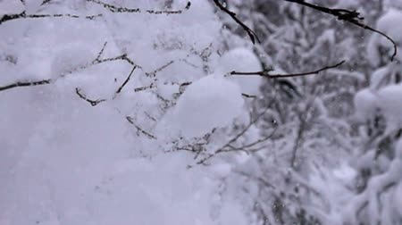 snowbreak : snow-covered trees and falling snow caps on snowbreak dayslow. Super slow motion 1000 fps