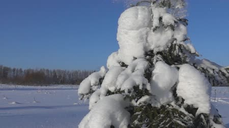 snowbreak : snow-covered trees and falling snow caps on snowbreak day. Super slow motion 1000 fps. Stock Footage