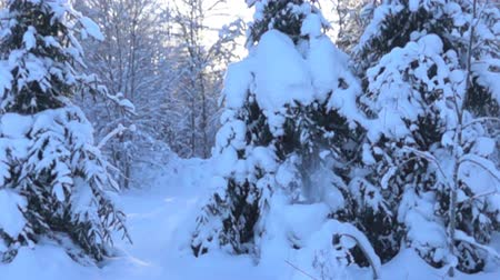 snow covered spruce : snow-covered trees and falling snow caps on snowbreak day. Super slow motion 1000 fps. Stock Footage