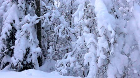 gust of wind : Snow-covered forest, snow blanket on the trees and the collapse of excess snow