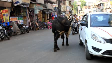 India, new Delhi - March 26, 2018: large Sacred cow stopped right in the middle of the city street, cars go around the animal Wideo