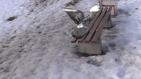 banquinho : Pigeon flying in Park in city in winter in snow. All known city birds. Super slow motion 1000 fps. Top view