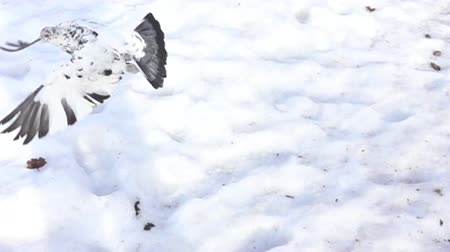 ismert : Pigeon flying in Park in city in winter in snow. All known city birds. Super slow motion 1000 fps. Top view