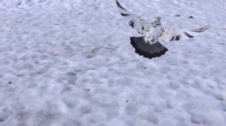 télen : Pigeon flying in Park in city in winter in snow. All known city birds. Super slow motion 1000 fps. Top view