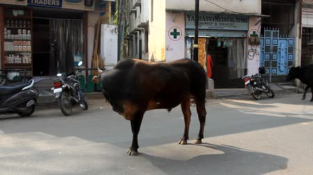 India, Varanasi - March 20, 2018: bull stands right in the middle of the roadway. Sacred cows as they are Wideo
