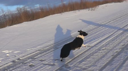 cur : Galloping dog. Black and white (mottled) dog running on the winter snow-covered road of the forest to meet people (shadows). Super slow motion 1000 fps. Stock Footage