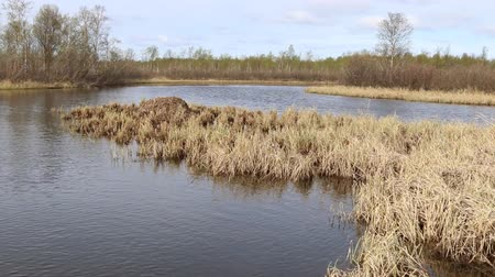 egg laying : Whooper swan (Cygnus cygnus) moss nest on marsh island (estuary) is surrounded by bush. Nest height of more than meter is used by birds for many years, swan nest station. Lapland, lake Salmijärvi Stock Footage