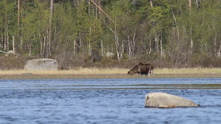 alce : In spring moose eat young sedge on floodplain meadows. Elk male eats grass in the river on the belly in the water. Lapland