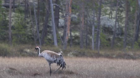 торф : Gray crane (Common crane, Grus grus) walks in the swamp. Royal bird in Lapland in the conditions of the Scandinavian boreal forests Стоковые видеозаписи