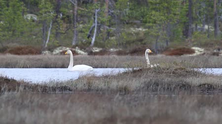 necked : pair of Whooper swans swims near the nest on a swampy forest lake Stock Footage