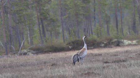 忠誠心 : Gray crane (Common crane, Grus grus) walks in the swamp. Royal bird in Lapland in the conditions of the Scandinavian boreal forests 動画素材