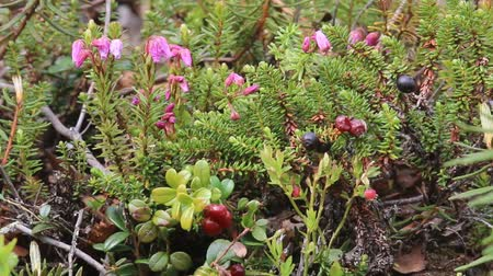 toendra : Paradox of polar spring. Blooming black crowberry (Empetrum nigrum) and next crowberry berries and red cranberries (Vaccinium vitisidaea)- crop of last year in mountain tundra. Arctic biome Lapland