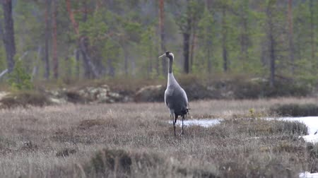 торф : Gray crane (Common crane, Grus grus) walks in the swamp. Royal bird in Lapland in the conditions of the Scandinavian boreal forests, typical breeding ground Стоковые видеозаписи