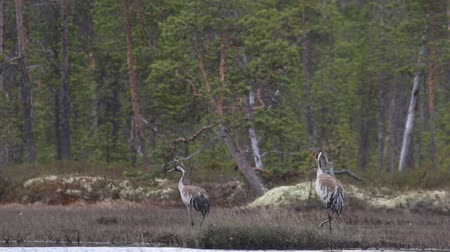 brodění : Pair of Gray crane (Common crane, Grus grus) walks in the swamp with a guttural cry. Royal bird in Lapland in the conditions of the Scandinavian boreal forests, typical breeding ground Dostupné videozáznamy