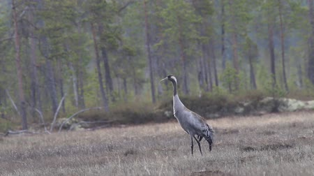 arborizado : Gray crane (Common crane, Grus grus) walks in the swamp. Royal bird in Lapland in the conditions of the Scandinavian boreal forests, breeding ground Vídeos